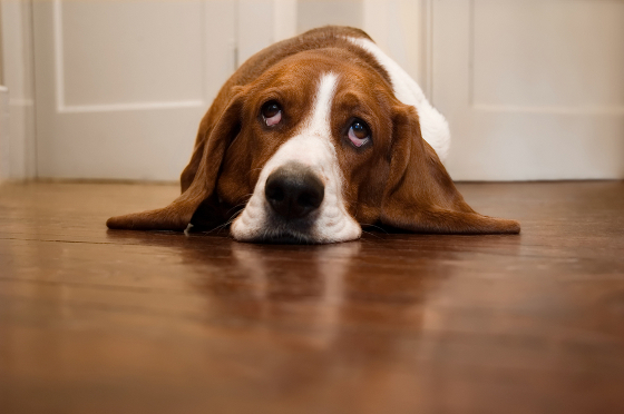 fatigue du chien quand doit on consulter chien calme. Black Bedroom Furniture Sets. Home Design Ideas