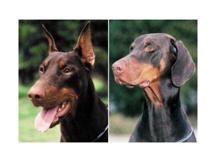 Pour ou contre la chirurgie esth tique chien calme - Vente dobermann oreilles coupees ...